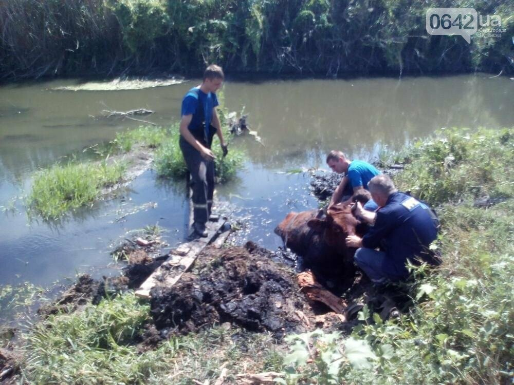 В Луганске из болота тащили не бегемота - корову (ФОТО), фото-1