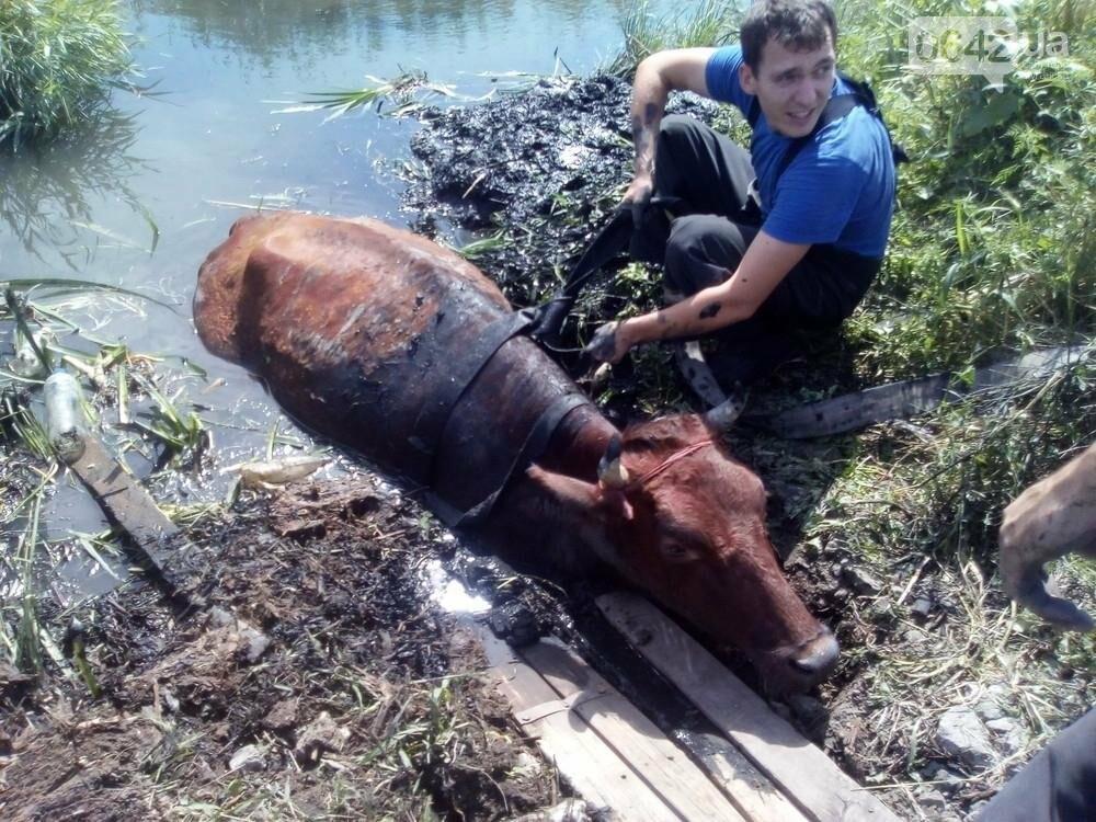 В Луганске из болота тащили не бегемота - корову (ФОТО), фото-2
