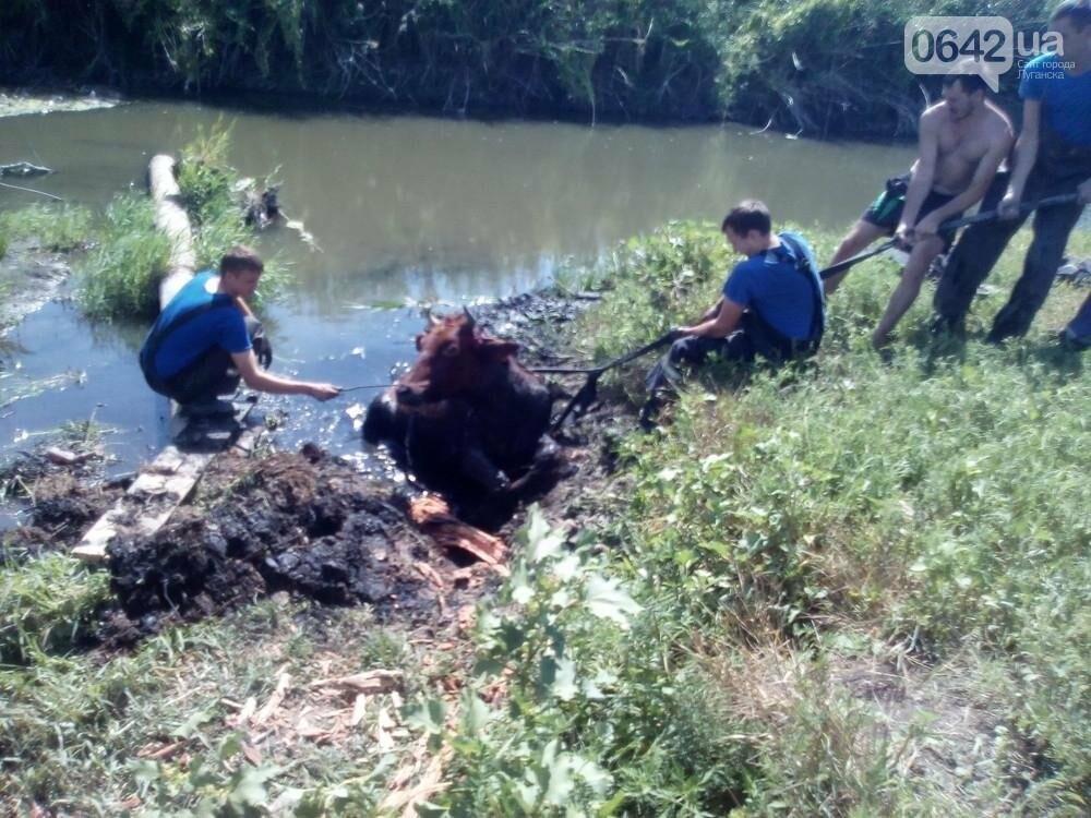В Луганске из болота тащили не бегемота - корову (ФОТО), фото-3