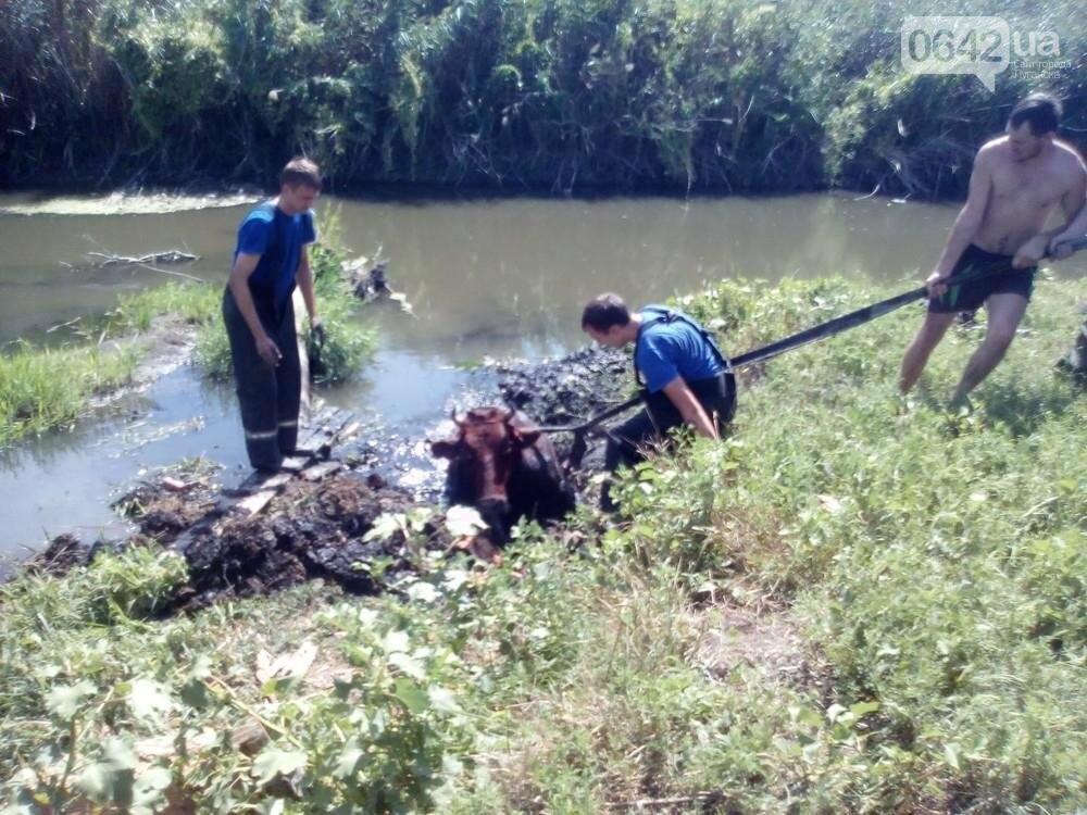 В Луганске из болота тащили не бегемота - корову (ФОТО), фото-5