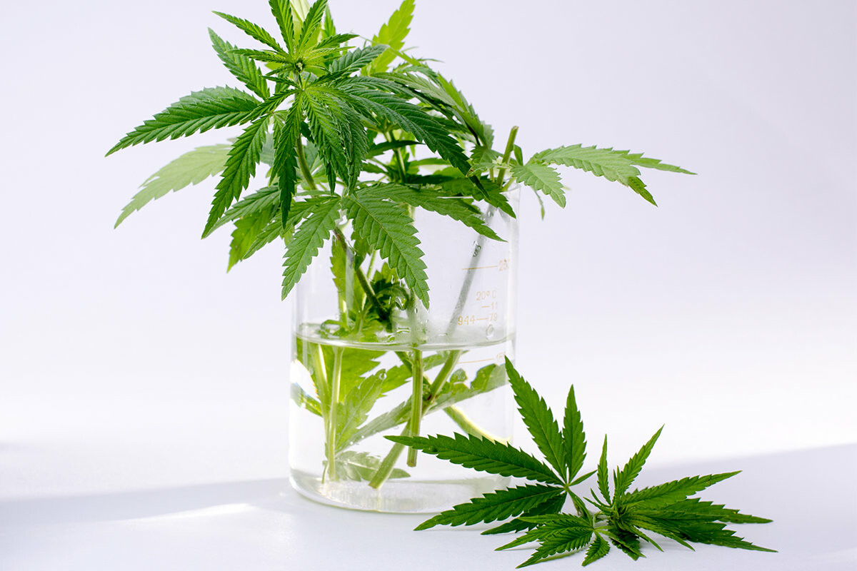 Конопля уход выращивание какие виды марихуаны есть